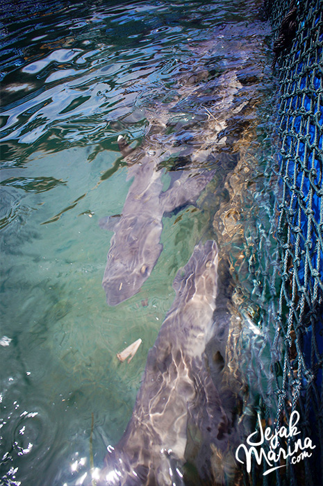 Bali_Sharks_Serangan_05